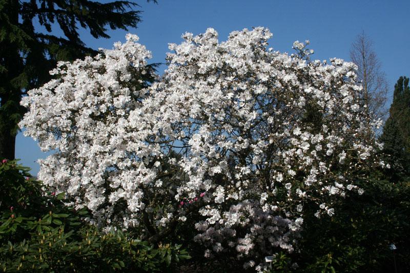 baumschule hachmann leidenschaft rhododendron barmstedt s d holstein. Black Bedroom Furniture Sets. Home Design Ideas