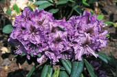Rhododendron 'Anatevka' <br>Rhododendron Hybride / Großblumiger Rhododendron