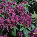 Rhododendron 'Azurro' <br>Rhododendron Hybride / Großblumiger Rhododendron