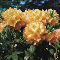 Rhododendron 'Belkanto'Ⓢ <br>Rhododendron Hybride / Großblumiger Rhododendron