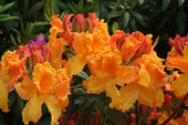 Laubabwerfende Azalee 'California Sunset' (syn. 'Gold-Orange mit Krause') <br> (Rhododendron luteum 'California Sunset' / Gartenazalee, Knap-Hill-Azalee)