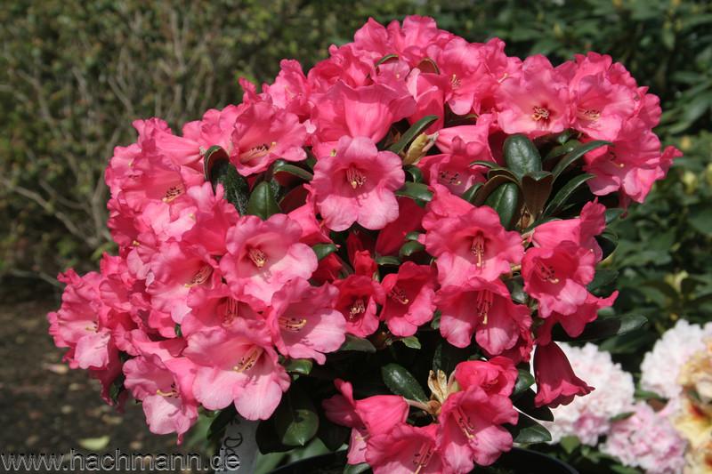 Rhododendron yakushimanum Debbie Dane 25-30 cm