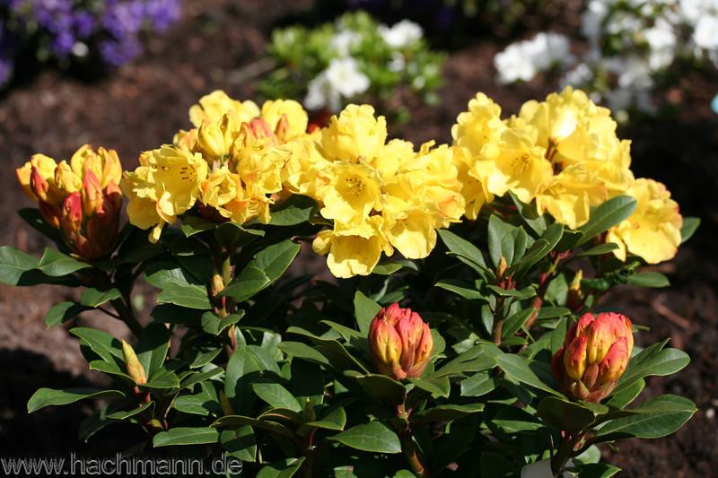 rhododendron gelbe bl tter rhododendron hat gelbe bl tter. Black Bedroom Furniture Sets. Home Design Ideas