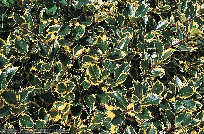 Ilex aquifolium Rubricaulis Aurea Gelbbunte Stechpalme Rubricaulis Aurea